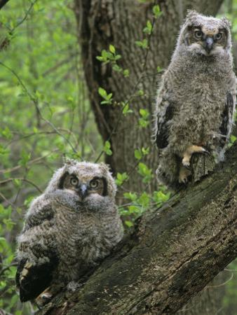 Young Great Horned Owls, Bubo Virginianus, . North America by Gary Meszaros