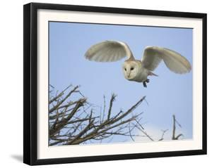 Barn Owl Hunting Along Roadside Hedge, Norfolk, UK by Gary Smith