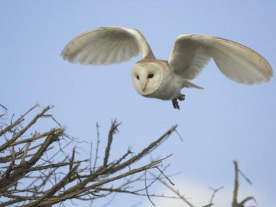 Barn Owl Hunting Along Roadside Hedge, Norfolk, UK by Gary Smith