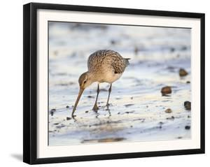 Black Tailed Godwit Feeding in Mud on Tidal Channel, Norfolk, UK, December by Gary Smith