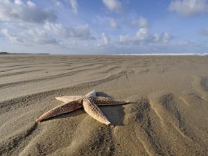 Common Starfish Washed Up on Beach, Norfolk, UK, November 2008 by Gary Smith