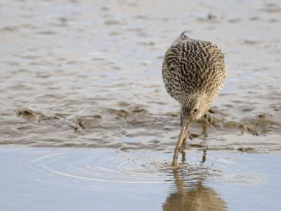 Curlew Washing Worm in Water, Norfolk UK by Gary Smith