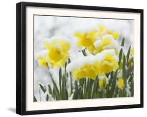 Daffodils Flowers Covered in Snow, Norfolk, UK by Gary Smith