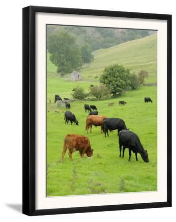 Domestic Cattle on Grazing Meadows, Peak District Np, Derbyshire, UK by Gary Smith