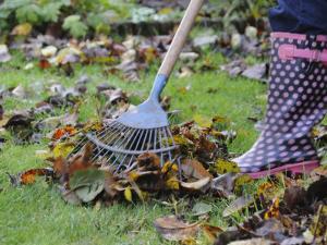 Gardener Raking Fallen Leaves with Lawn Rake, UK, November 2008 by Gary Smith