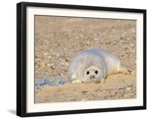 Grey Seal Pup on Beach Lying Beside Plastic Twine, Blakeney Point, Norfolk, UK, December by Gary Smith