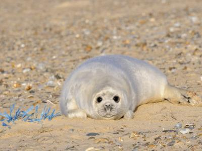 Grey Seal Pup on Beach Lying Beside Plastic Twine, Blakeney Point, Norfolk, UK, December by Gary Smith