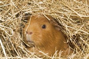 Guinea Pig (Cavia porcellus) adult, close-up of head amongst straw by Gary Smith