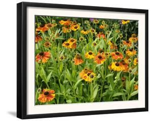 Helenium, Moerheim Beauty Variety Flowering in Summer Garden, Norfolk, UK by Gary Smith
