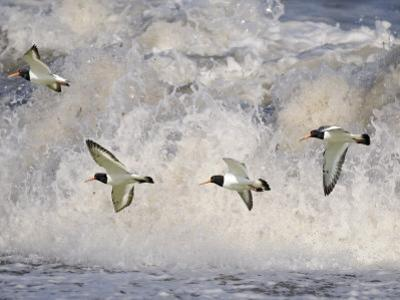 Oystercatchers in Flight over Breaking Surf, Norfolk, UK, December by Gary Smith
