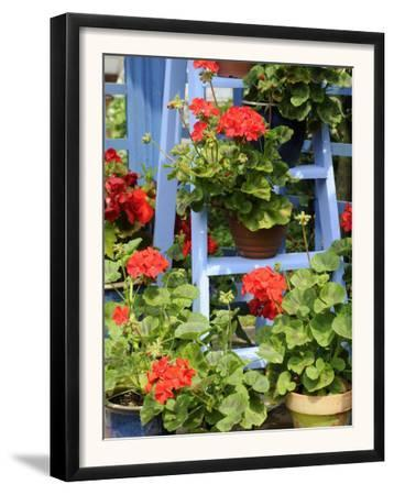 Rustic Garden Geranium Feature, Geranium Plants in Full Bloom on Blue Painted Wooden Stepladder, UK by Gary Smith