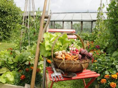 Summer Potager Style Garden with Freshly Harvested Vegetables in Wooden Trug, Norfolk, UK by Gary Smith