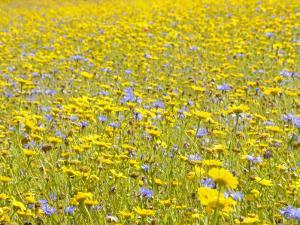Summer Wildflower Meadow with Corn Marigold and Cornflower Uk, July by Gary Smith