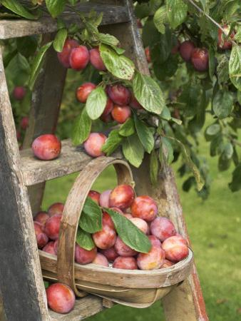 Victoria Plums Freshly Picked in a Trug in a Country Garden, England, UK by Gary Smith