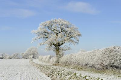 View of arable farmland with track, hedgerow and trees covered with rime frost, Norfolk, England by Gary Smith