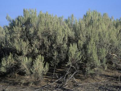 Sagebrush, Artemisia Tridentata, the Nevada State Flower, USA by Gary Will