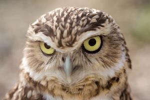 Burrowing Owl Portrait by Gaschwald