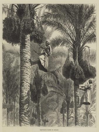 Gathering Dates in Ceylon