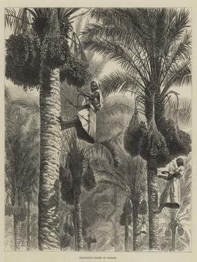Gathering Dates in Ceylon