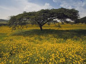 Acacia Tree and Yellow Meskel Flowers in Bloom after the Rains, Green Fertile Fields, Ethiopia by Gavin Hellier