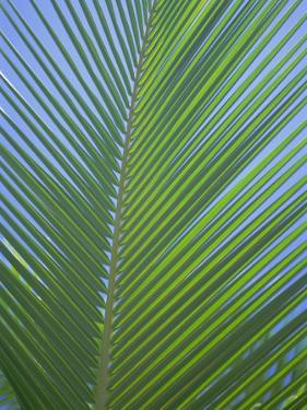 Detail of a Palm Tree Leaf (Frond), Mahe Island, Seychelles, Indian Ocean, Africa by Gavin Hellier