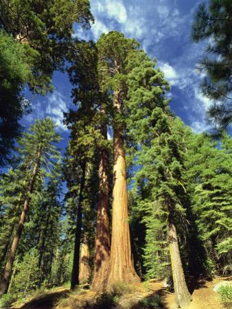 Giant Sequoia Trees, Mariposa Grove, Yosemite National Park, California, USA by Gavin Hellier