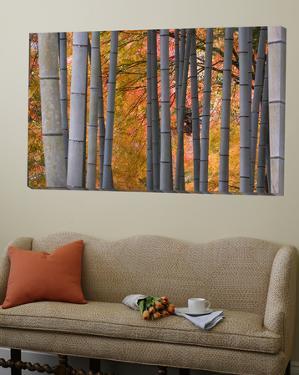 Maples Trees and Bamboo, Arashiyama, Kyoto, Japan by Gavin Hellier