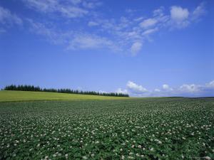 Potato and Wheat Fields Near Furano, Hokkaido Island, Japan, Asia by Gavin Hellier