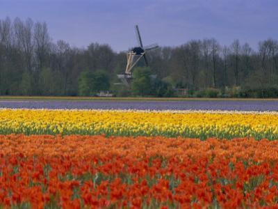 Tulip Fields and Windmill Near Keukenhof, Holland (The Netherlands), Europe by Gavin Hellier