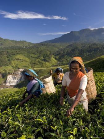 Women Tea Pickers, Tea Hills, Hill Country, Nuwara Eliya, Sri Lanka, Asia by Gavin Hellier