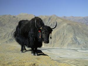 Yak, Tibet, Asia by Gavin Hellier