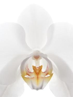 Orchid Flower (family Orchidaceae) by Gavin Kingcome