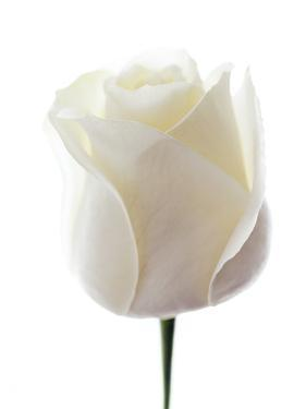 White Rose (Rosa Sp.) by Gavin Kingcome