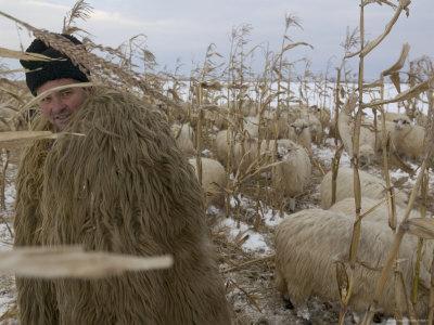 Shepherd Wrapped in Sheep's Fleece Tends to His Sheep, Transylvania