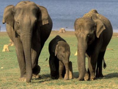 Asian Elephant Family, Nagarhole National Park, India by Gavriel Jecan