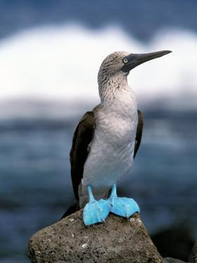 Blue Footed Booby, Galapagos Islands, Ecuador by Gavriel Jecan