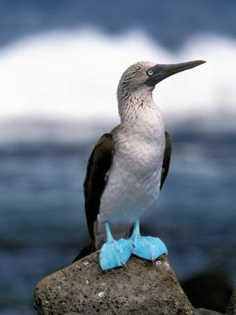 Blue Footed Booby, Galapagos Islands, Ecuador by Gavriel Jecan