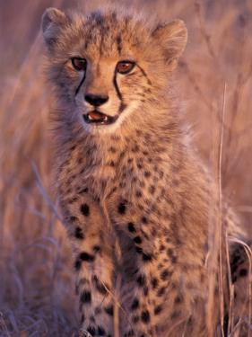 Cheetah, Phinda Reserve, South Africa by Gavriel Jecan
