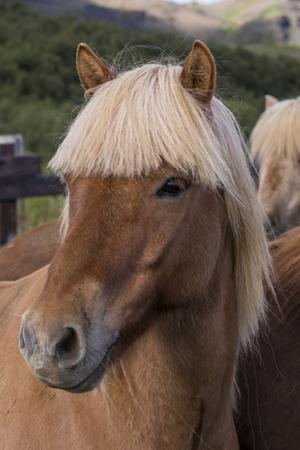Close Up of an Icelandic Horse, Iceland by Gavriel Jecan