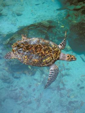 Green Turtle, Bocas Del Torro Island, Panama by Gavriel Jecan