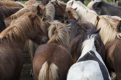 Herd of Icelandic Horse by Gavriel Jecan