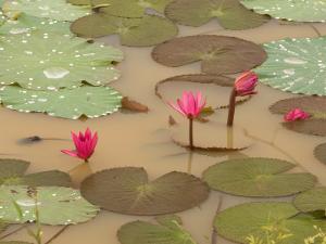Lotus Flower, Ayuthaya, Thailand by Gavriel Jecan