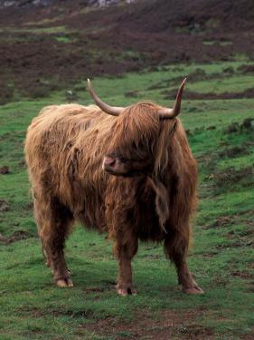 Scottish Highland Cattle, Isle of Skye, Scotland by Gavriel Jecan