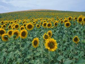 Sunflower Field, Provence, France by Gavriel Jecan