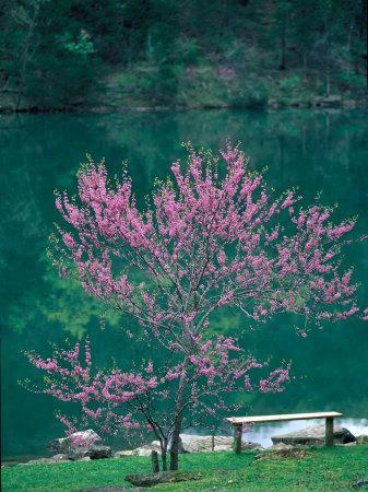 Lakeside Redbud Tree Blooms in Spring