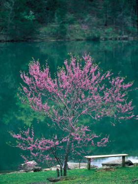 Lakeside Redbud Tree Blooms in Spring by Gayle Harper