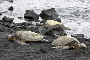 Ridleys Sea Turtles on black sand beach, Big Island, Hawaii by Gayle Harper
