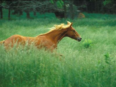 Young Stallion Runs Through a Meadow of Tall Grass, Montana, USA