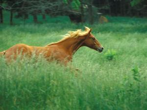 Young Stallion Runs Through a Meadow of Tall Grass, Montana, USA by Gayle Harper