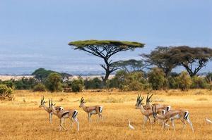 Gazelles Amboseli Kenya Africa
